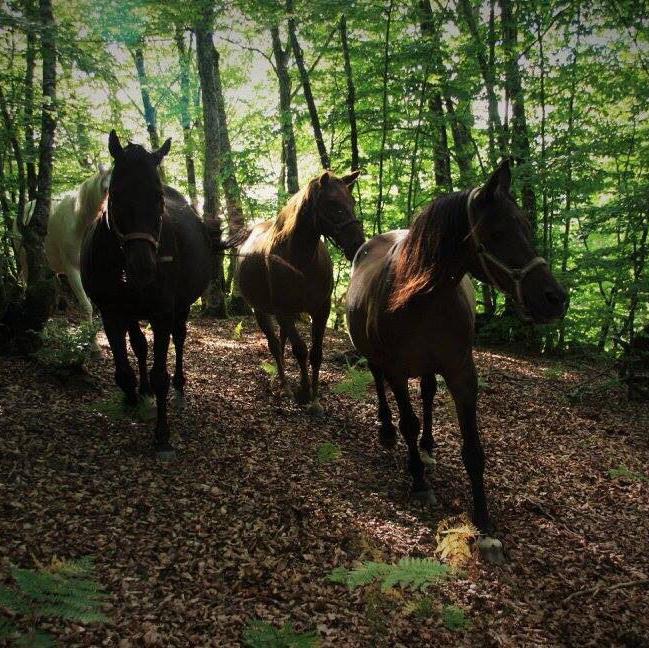 Caballos del bosque (refugio de equinos)