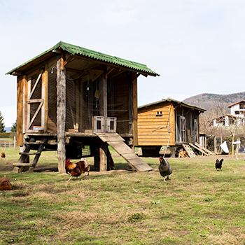 Las casas de las gallinas